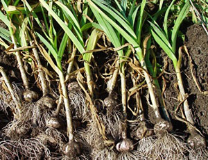 harvested-garlic